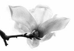 a-magnificent_magnolia