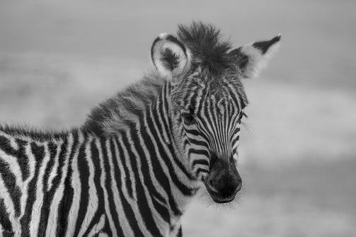a-stripes