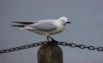 b-black-billed-gull