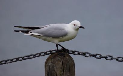 b-black-billed-gull