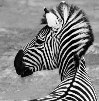 b-look-left-and-right-at-zebra-crossing