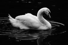 b-swan-lake