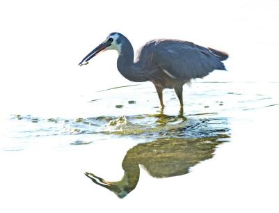 a-blue-heron