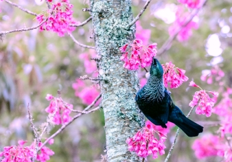 a-tui-in-pink