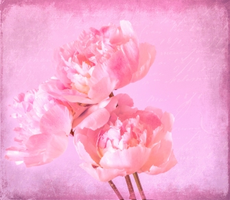 b-shades-of-pink-textured-peony