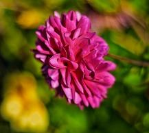 c-pink-flower