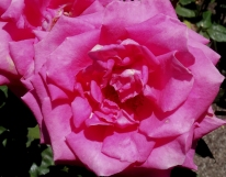 c-single_rose