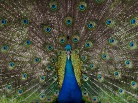 a-peacock