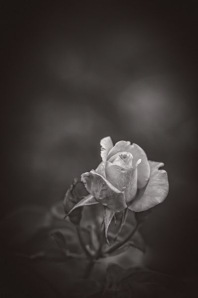 c-The Rose_2_preview