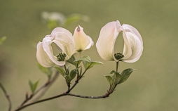 Dogwood_Cloud_Nine