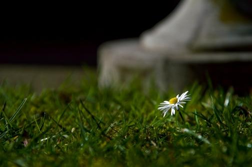 Lone_Daisy