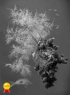 a-black_coral