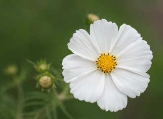 a-Cosmos sunny side up