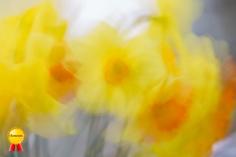 a-DaffodilBlooms