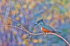 a-Giant Kingfisher art