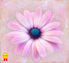 a-Painted daisy