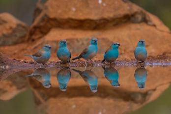 A-the_blue_waxbill