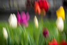 a-Troubled_Tulips