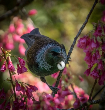 a-Tui in the Blossom (2)