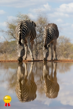 A-zebras_at_waterhole