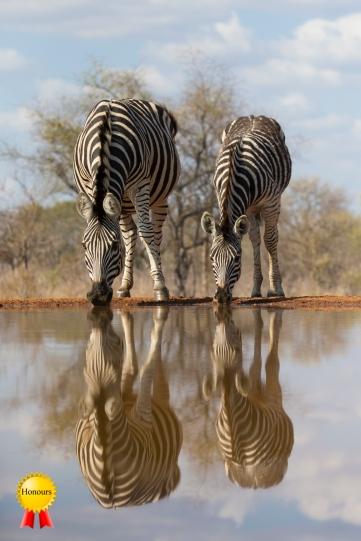 A-zebras_at_waterhole