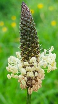 c-Plantain-seed-head