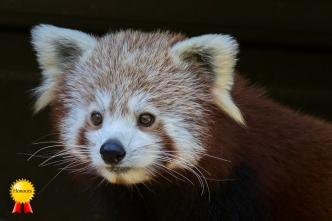 a-Red Panda-0536-H
