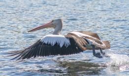 B-Pelican