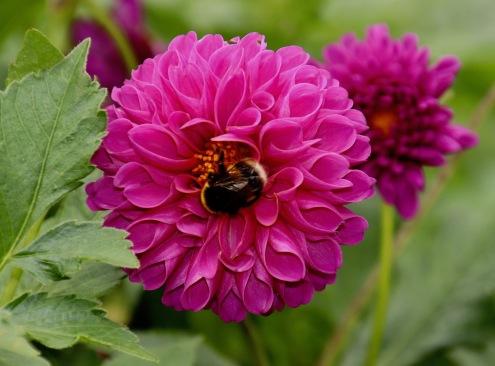 c-Bee_Loving_the_Pollen