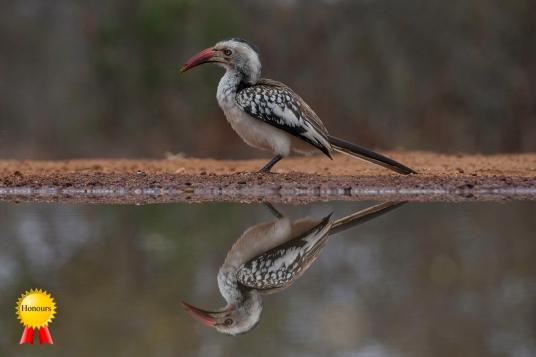 A-Hornbill