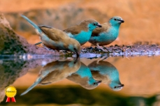 a-Waxbills times Three