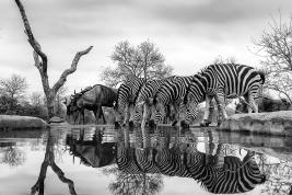a-Wilderbeast & Zebra