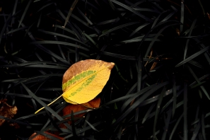 c-autumn_leaf_on_Mondo_grass