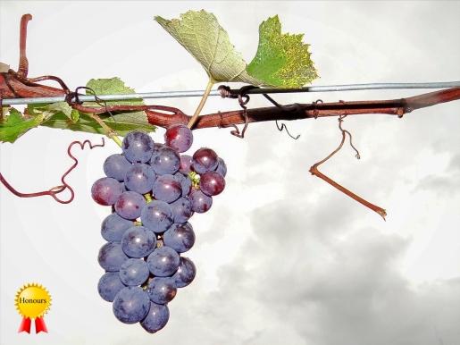 c-End of the grape season