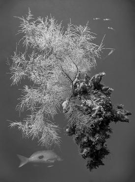 black_coral
