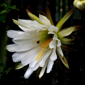 cactus-flower--with-bee-2438