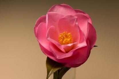 Camellia Full Bloom