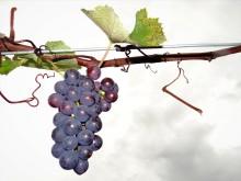 End of the grape season