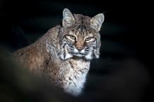 Lynx - Sony a7RII