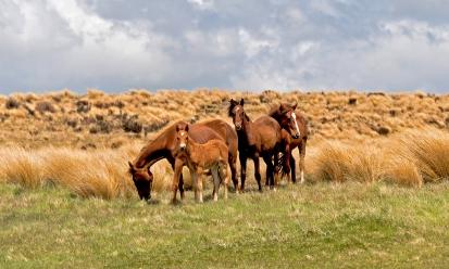 Kaimanawa Horses