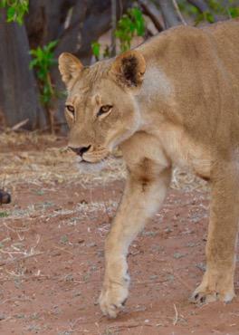 lioness_in_Chobe_National Park-Botswana