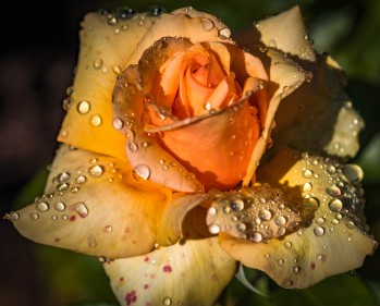 Morning Dew yellow Rose