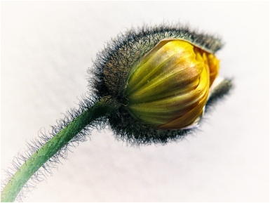 Poppy bud just opening