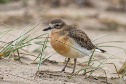 New_Zealand_Dotterel