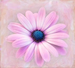 Painted daisy -floral