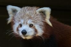 Red Panda-0536