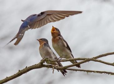 Swallow Feeding Chick