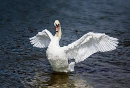 swan_lake