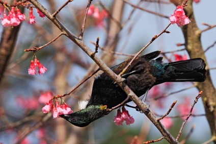 Tui_in_the_blossom