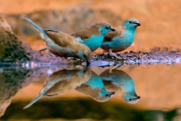 Waxbills times Three